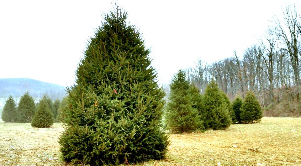 EvergreenValley Christmas Tree Farm – Real Christmas Trees Fresh ...